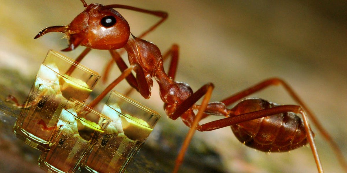 An ant always falls over on its right side when intoxicated.