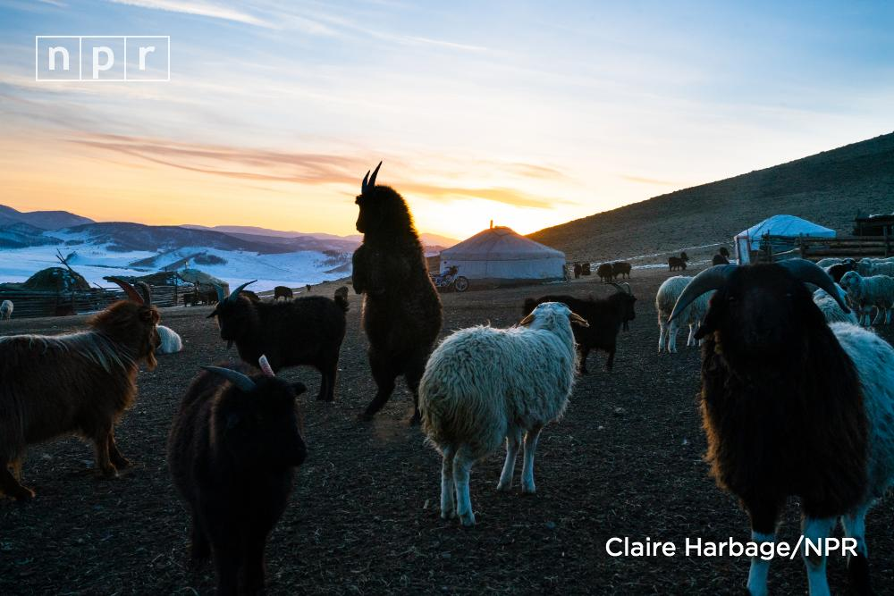 """Mongolia experienced four """"dzuds"""" — winters so extreme that animals cannot survive — between 1999 and 2010. 21 million animals died. The U.N. now recognizes dzud as a slow-onset natural disaster. n.pr/31GLRMv"""