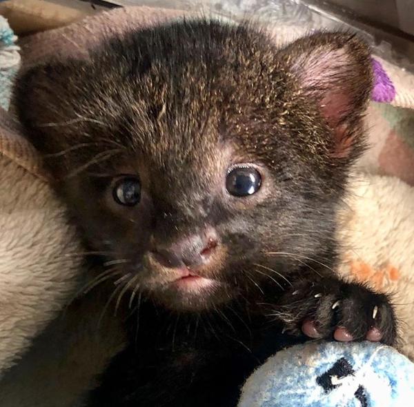 El nuevo huésped del Zoo La Aurora: un tierno jaguarundi recién nacido bit.ly/308A7lv