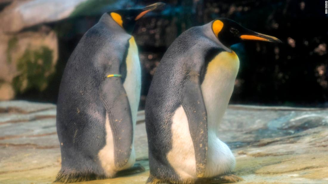 This gay penguin couple may finally be able to parent a chick of their own. Officials at Zoo Berlin announced that Skipper and Ping, two of its male king penguins, have eagerly adopted an egg. https://cnn.it/31RwZLr