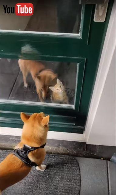 すごく良い……ワンちゃんを大喜びで出迎える子猫ちゃん 「待ってたニャ!」とばかりに激しくじゃれつく姿がほほえましい -  @itm_nlabzooから