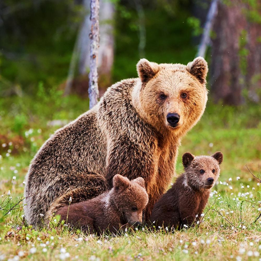 Медведь и медвежата картинка