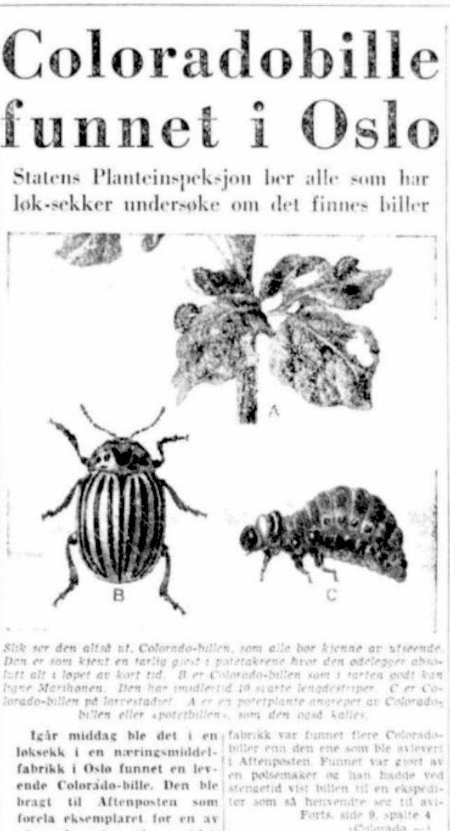 Flått? Brunsnegler? Skjeggkre? Niks. Dette var 1959 #pådennedag i @Aftenposten : Coloradobille funnet i Oslo