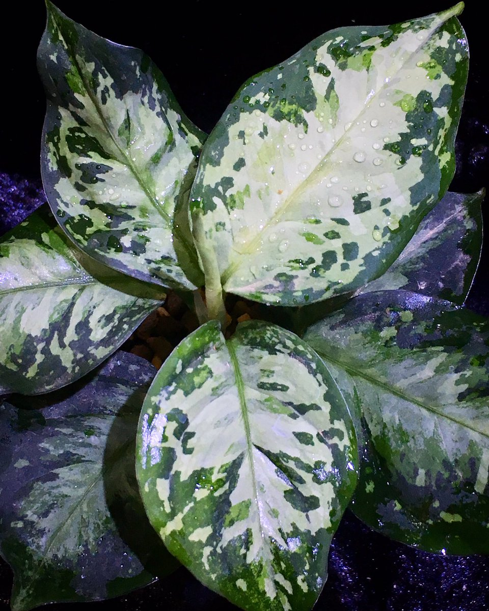 Aglaonema pictum White-DevilJCS from Pulau Nias [AZ0715-2]