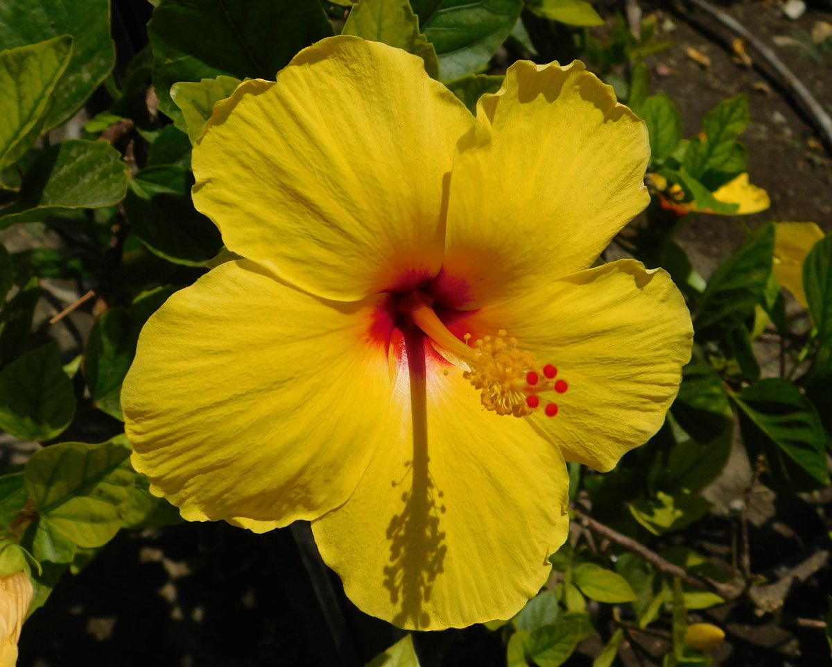 Yellow Hibiscus @Britnatureguide in the gardens of Malaga last week. A species found in the wild only in Hawaii where it is the state flower #ourworldisworthsaving<br>http://pic.twitter.com/36KsL8Wtwl