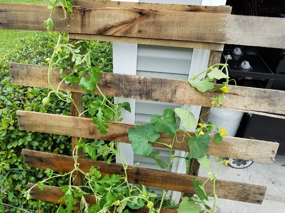 Easy trellis constructed. Nothing but pallets baby.
