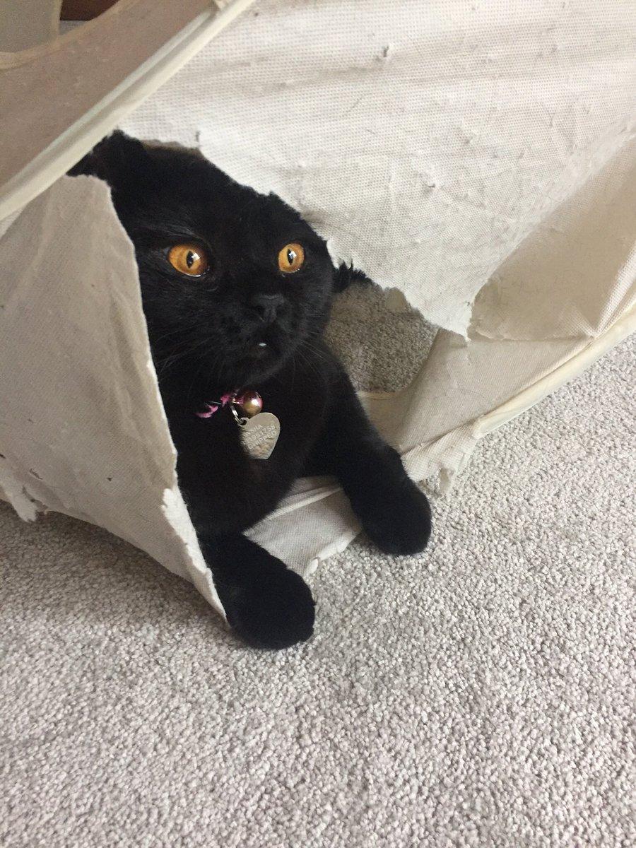I haven't got a box for #catboxsunday but I do have a nice ripped worse for wear play cube if that counts  #catlife #CatsOfTwitter #BlackCat #britishshorthair<br>http://pic.twitter.com/iiyXxJXW75