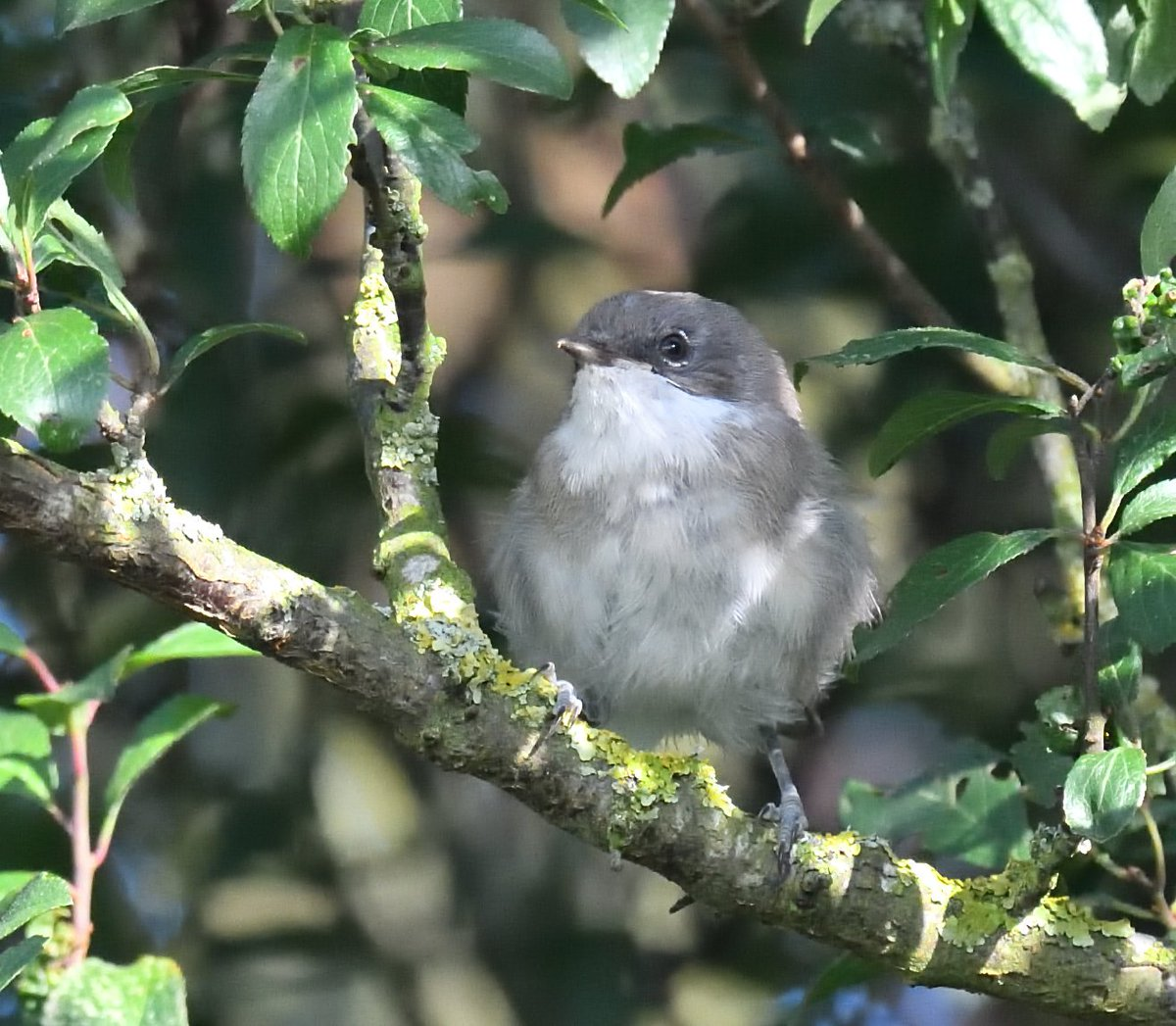 #LesserWhitethroat I believe ?? - seen in the hedgerow in the camping field from the Campervan window following 13 Long-tailed tits and Chiffchaffs @Birdfair #RutlandWater Two more seen out on the reserve today near Fieldfare hide with the Willow Warblers and Chiffchaffs <br>http://pic.twitter.com/FMFuClI43W