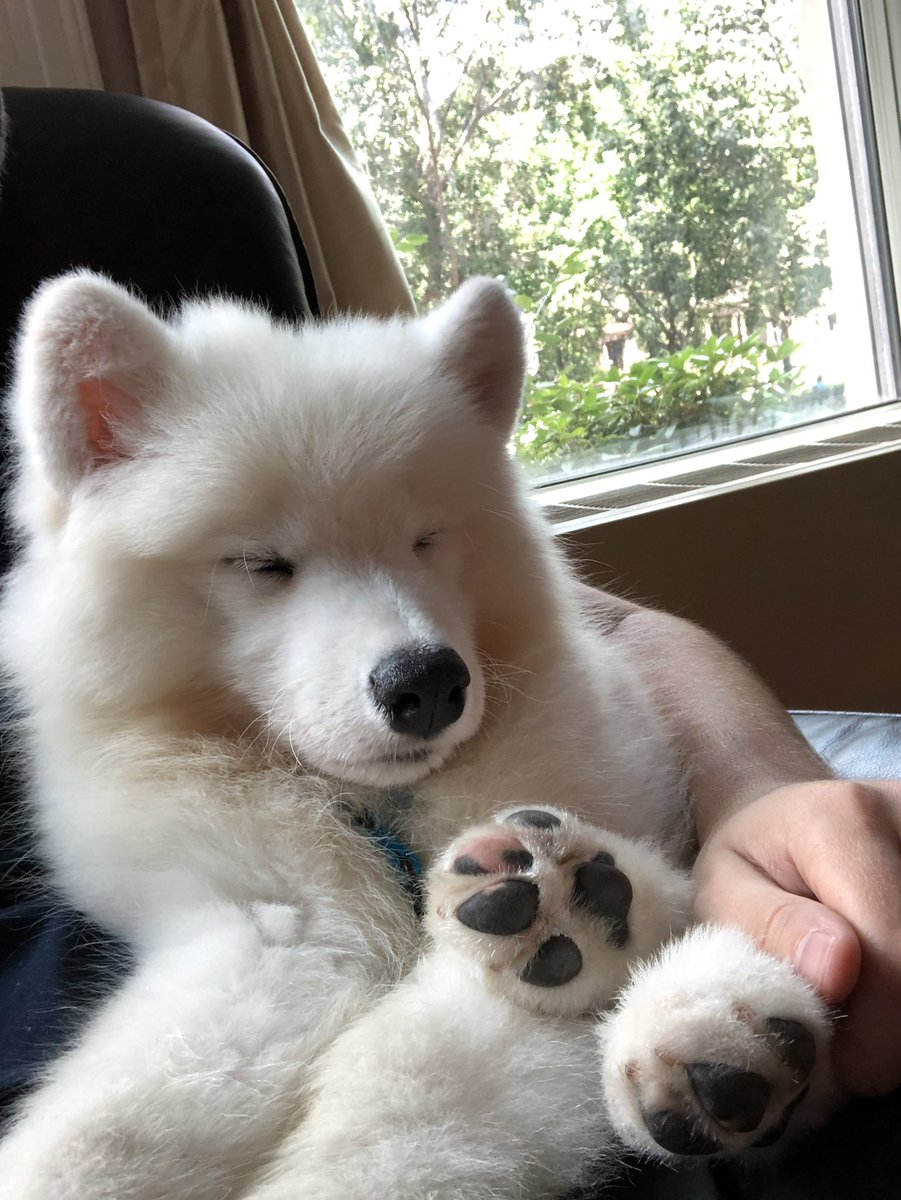 Nap time with the window AC  #samoyed #dogsoftwitter #puppy<br>http://pic.twitter.com/n7SCNItgvg