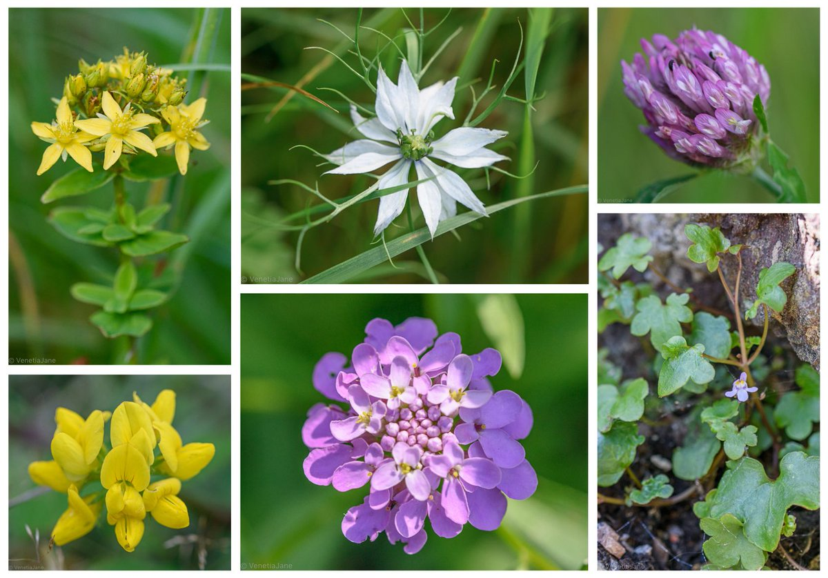 Wild & naturalised flowers photographed in the grounds of Woburn Abbey this weekend: St. John's Wort (Hypericum), naturalised Nigella, Red Clover (Trifolium pratense), Birdsfoot Trefoil, naturalised Candytuft (Iberis amara) & for #wallplants Ivy-leaved Toadflax. #wildflowerhour <br>http://pic.twitter.com/vMZQ5cJNTp