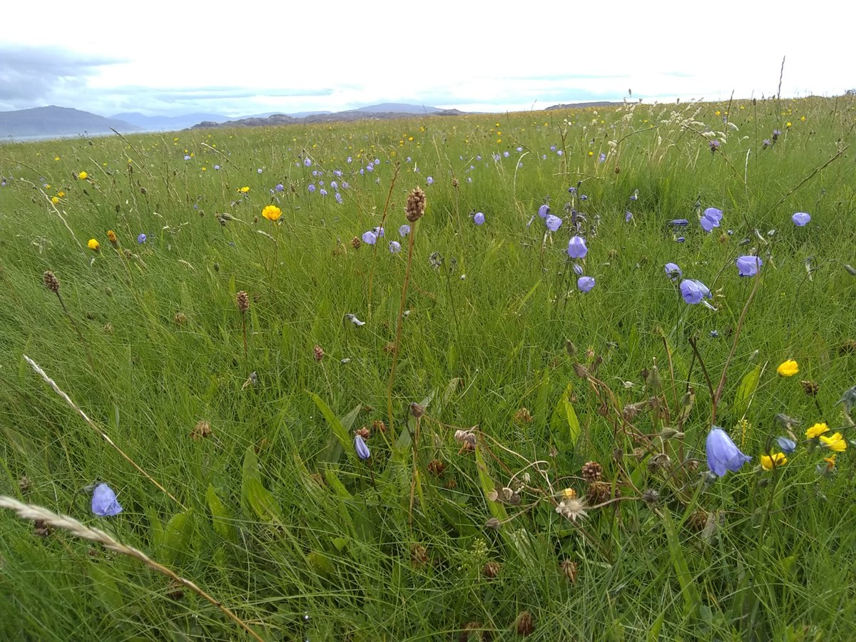 #wildflowerhour  A wildflower meadow of harebells and buttercups on #iona<br>http://pic.twitter.com/sPw9gqQdOs