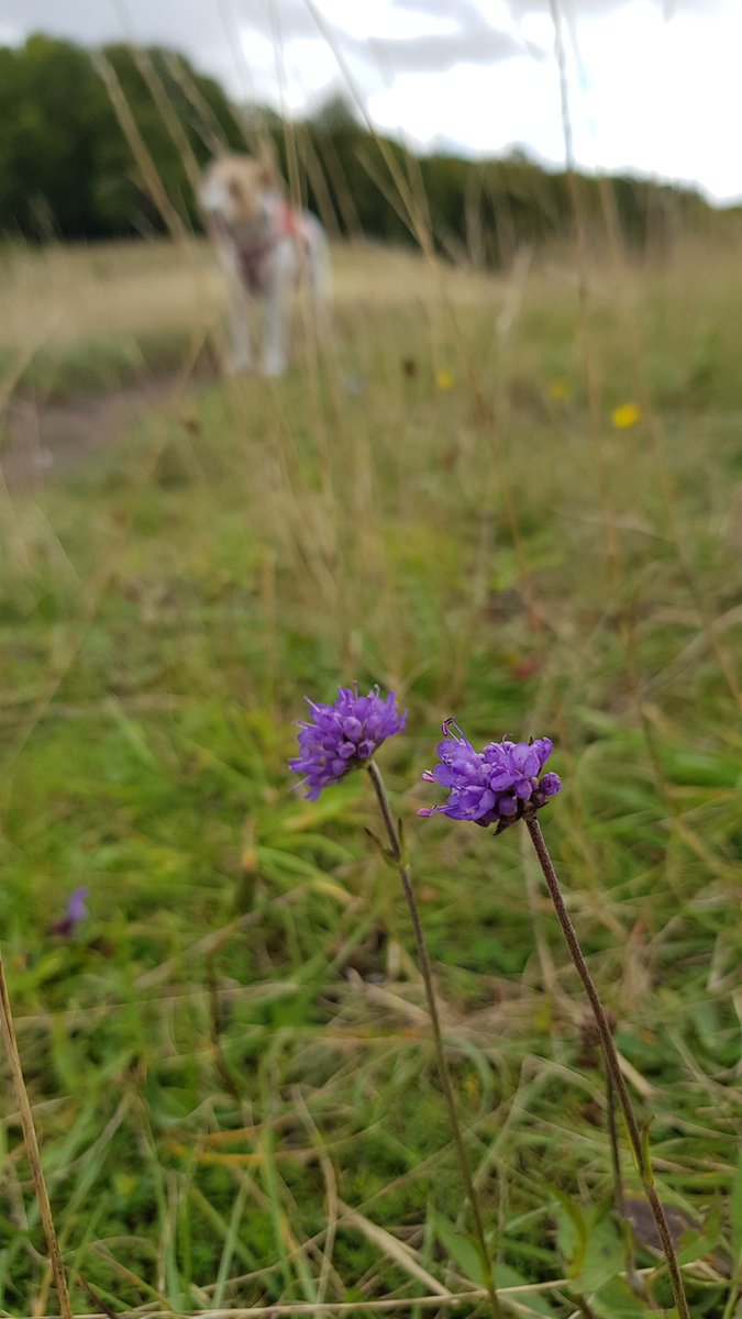 Mixed feelings about the appearance of devil's-bit and autumn gentian @TherfieldHeath- the end of summer is nigh! Plus clustered bellflower and eyebright still looking good #wildflowerhour <br>http://pic.twitter.com/fHBcC7Z71d