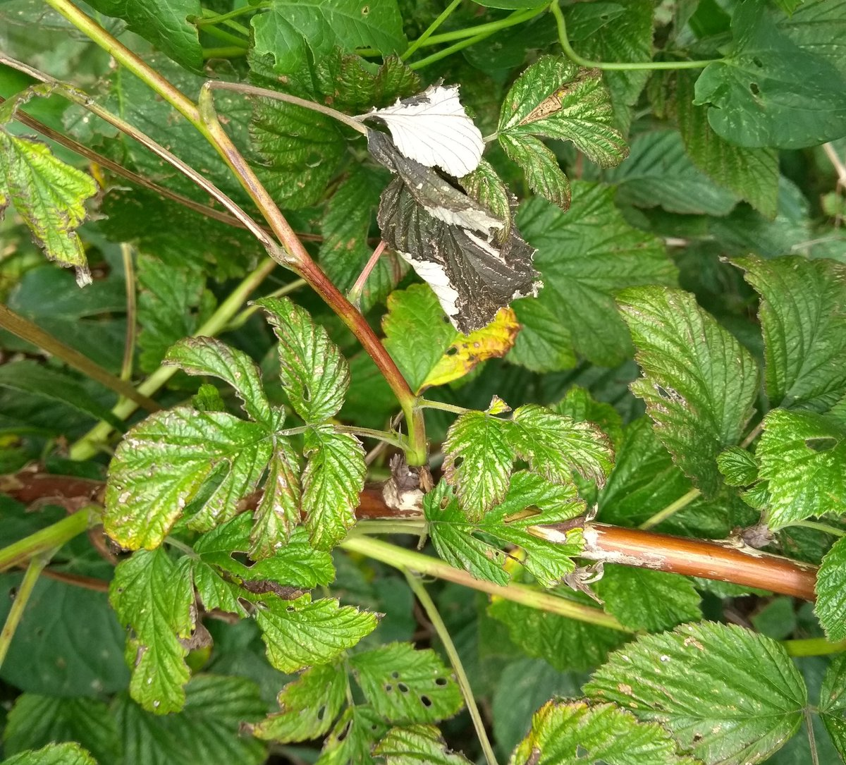 #nature #ukcountryside  #heatwave effect on plant life & where did the #raspberries go?