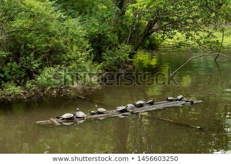 Turtle to dry the shell https://www.shutterstock.com/ja/image-photo/turtle-dry-shell-1456603250?src=fyZOzvnsJUsY0QtV8AKIzg-1-22… @Shutterstock #stockphoto #stockphotos #photo #photography #nature #water #turtle #爬虫類 #亀 #甲羅干し #外来種 #ミシシッピアカミミガメ #池