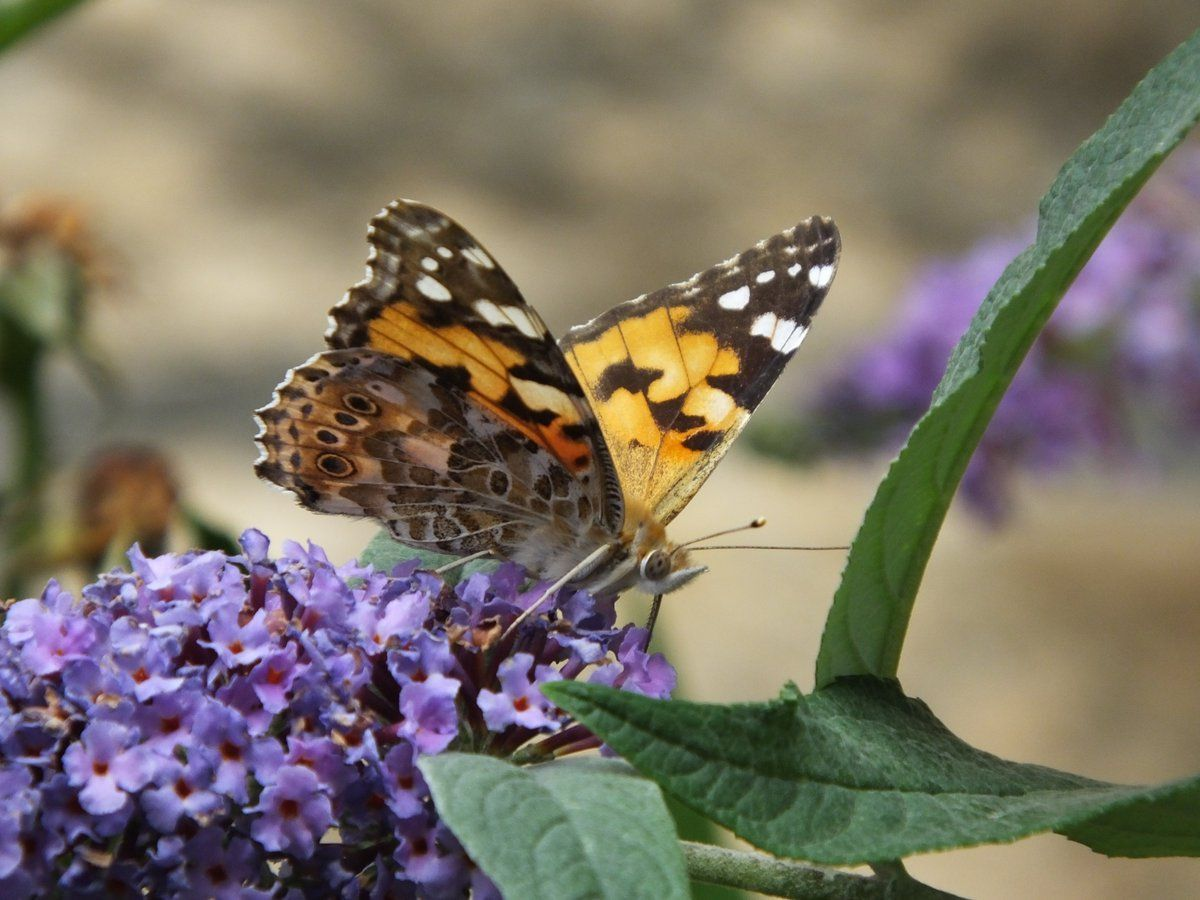 Millions of 'painted lady' butterflies migrate to the UK in a once-in-a-decade phenomenon 🦋 The butterflies can be seen across the UK and Ireland in a mass emergence that happens every 10 years. 🦋😍📸#Nature #ART #Photography #NEWS #BIZBoost 🚀