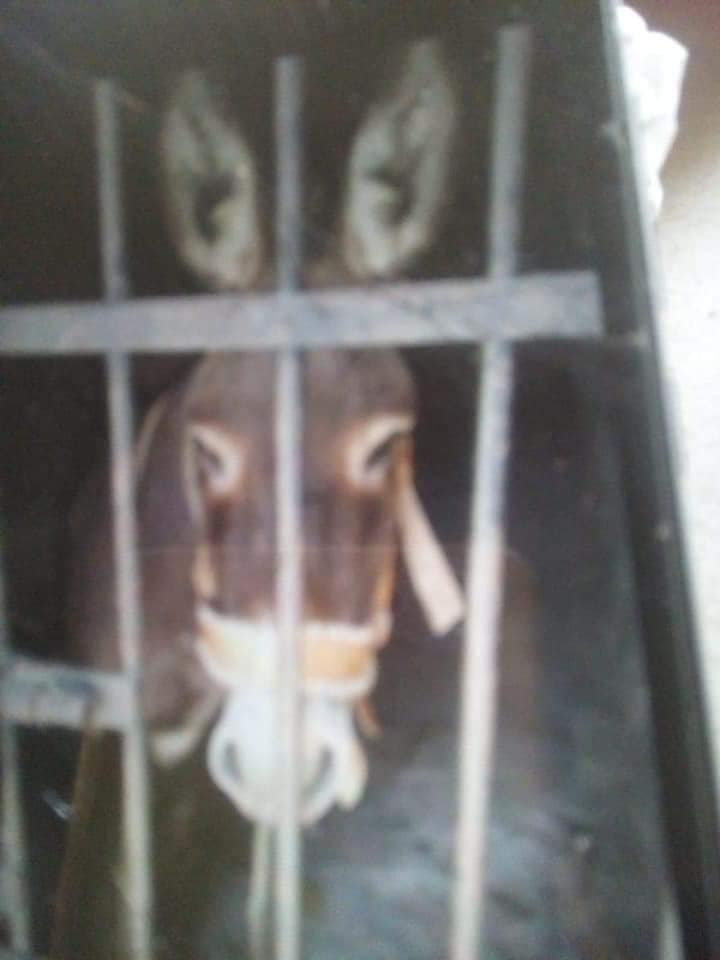 De no creerse. En un acto arbitrario y sin justificación, agentes despojan, encarcelan y dejan sin alimento ni agua a un burro propiedad de un hombre de 88 años, principal fuerza de trabajo del adulto mayor.  Pasó en México http://bit.ly/31OxdCR