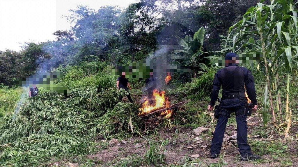 #Entérate #CBNoticiasDestruye Policía #Michoacán más de 3 mil plantas de marihuana https://cbtelevision.com.mx/destruye-policia-michoacan-mas-de-3-mil-plantas-de-marihuana/…