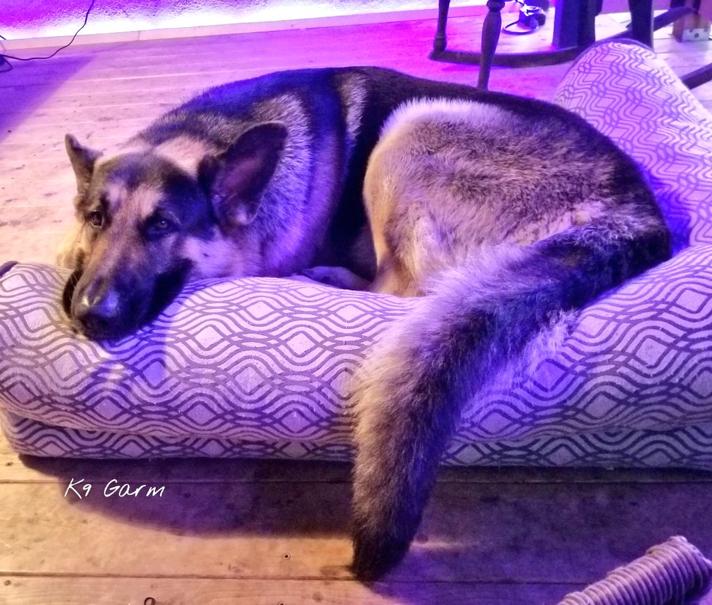 Another long and boring day of house arrest for the #moosedog. 2 days down, 12 more to go...we hope#K9Garm #SARK9 #dogsoftwitter #dog #dogs #germanshepherd #gsd #FaMoose<br>http://pic.twitter.com/FbsnjhMhEl