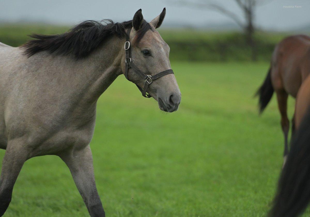 芦毛のドゥラメンテ牝馬です。視線に力がありますね(グランデアモーレの18)