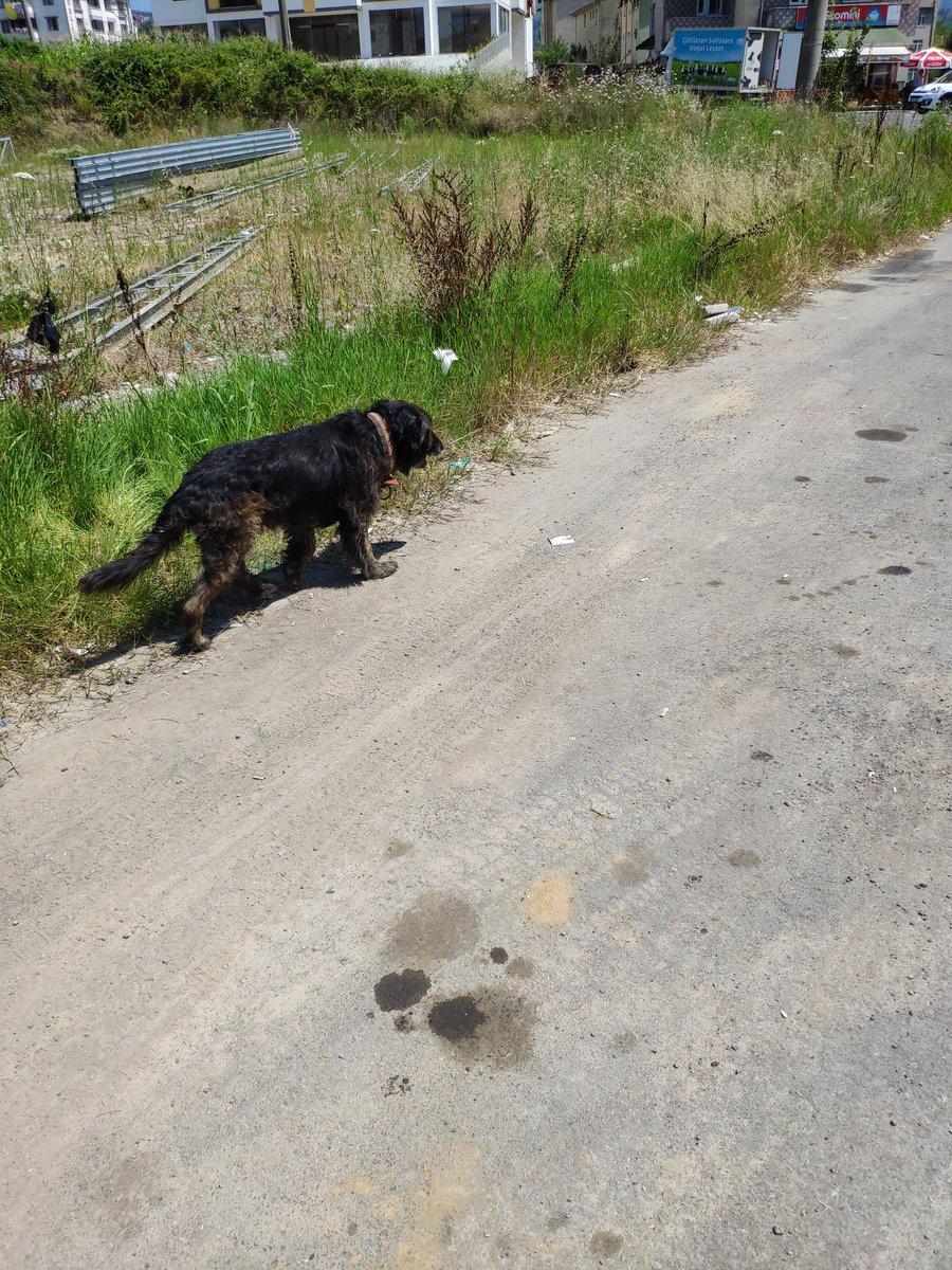@gokceozcancom Devamlı sokakta karşılaştığım terkedilmiş bir köpek var. Çöp karıştırmayı, kendini temizlemeyi bilmiyor. Tüyleri berbat olmuş etrafa gariban gariban bakıp geziyor. Her gördüğümde çok üzülüyorum 😔😔