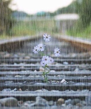 ❦You can't stop the rain, but you may look for things of wonder amid the deluge and perhaps find that even the rain is beautiful. ~Anne Scottlin #rain #nature #daisies #quote #train #flowers #tracks #smile #photo #anon