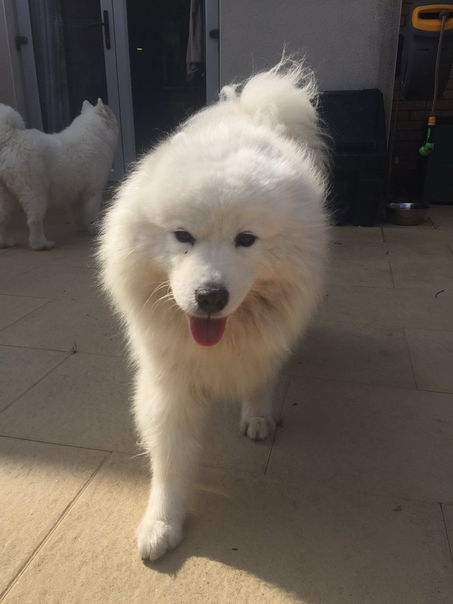 My dogs are so cute but hate posing but here they are so everyone can enjoy some wholesome content #Samoyed <br>http://pic.twitter.com/WRxQKmcM07