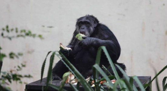 Chimpanzé Sena tem festa de aniversário no Parque de Dois Irmãos