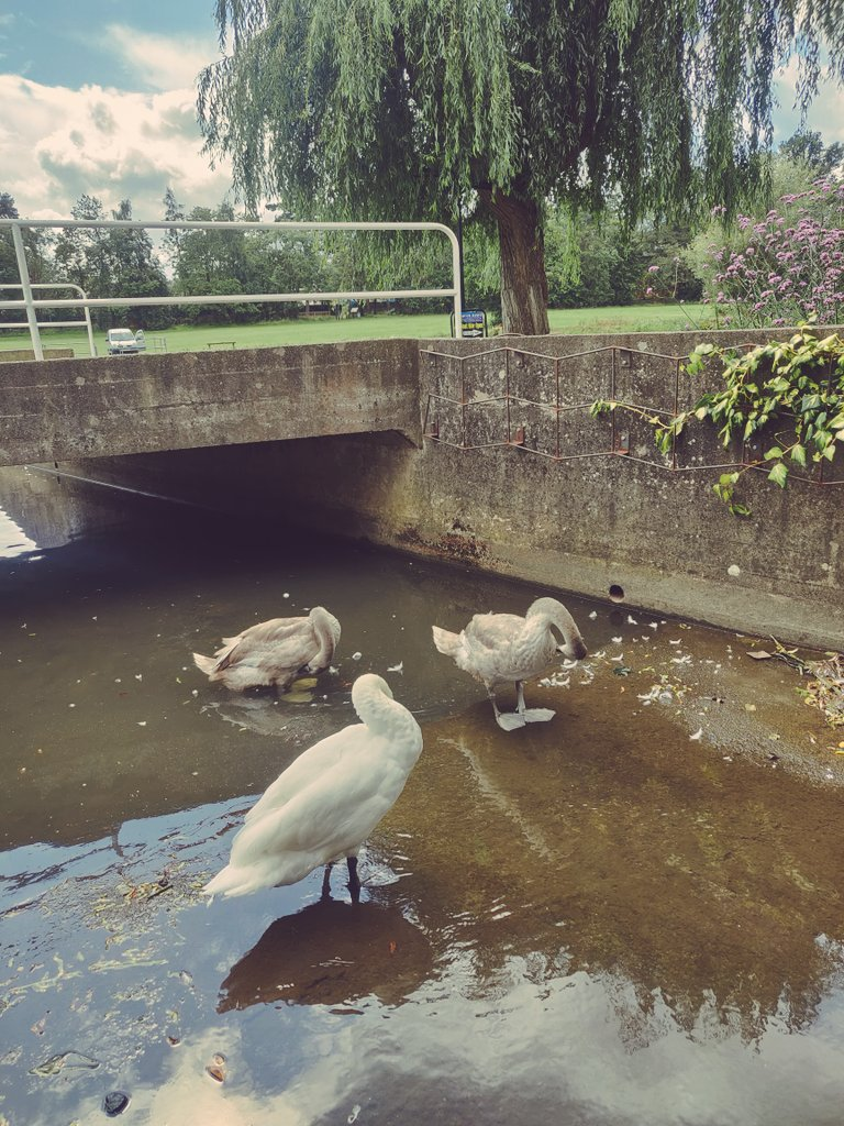 The Swan family having some private R and R @stnicholas_park   ^M @Warwick_DC<br>http://pic.twitter.com/JJt7cgUw4P