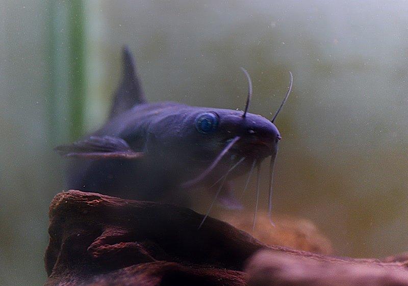 今日、うちに来て21年目になるギギが絶命。21年前に川で掬ってきた当時は4㎝ほどの幼魚だった。一昨年17歳11ヶ月で看取った先代の犬より長生きした。魚とはいえこれだけ長く一緒にいれば愛着も湧く。(写真は元気だった頃のギギさん)