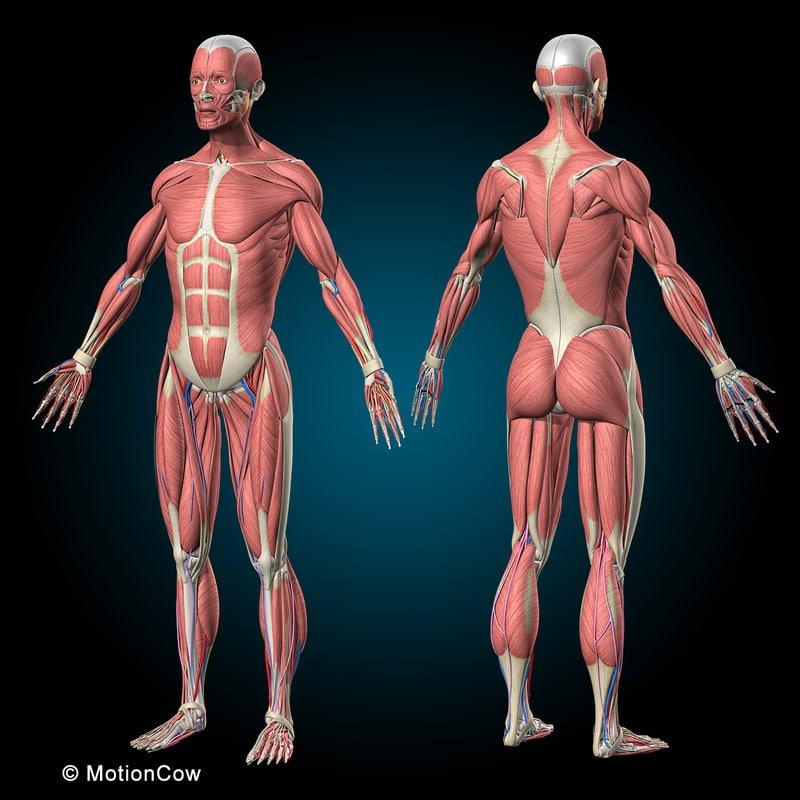можно скелет человека с мышцами фото все опасные