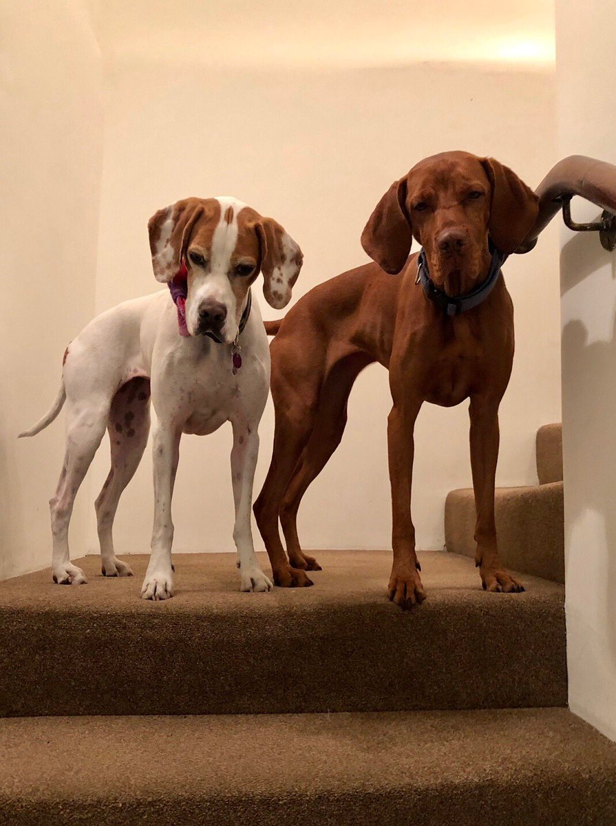 Looking down on some hoomans. #dogs #vizsla
