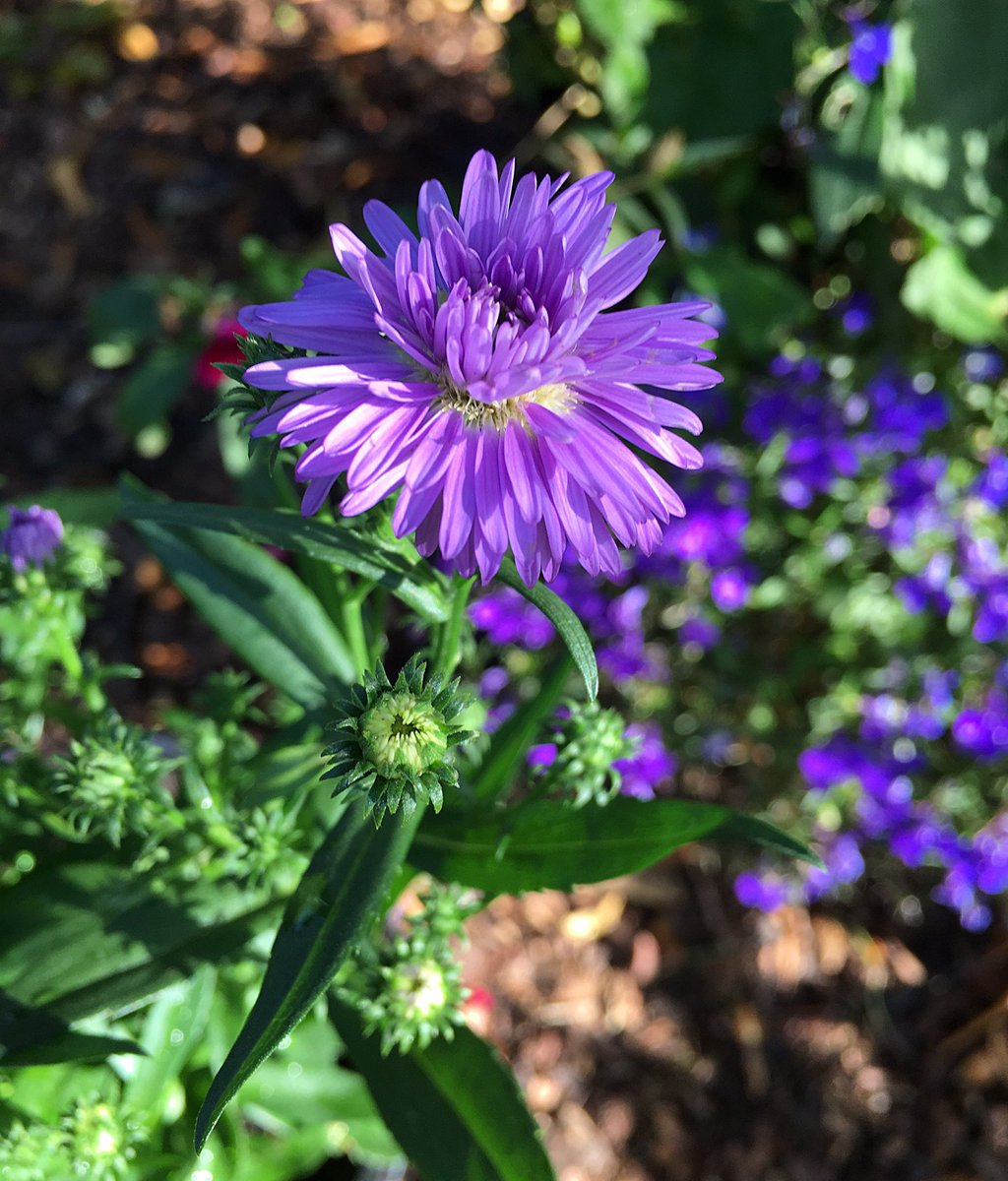 After a weekend of deadheading and clearing I have gaps to fill so I'm off to the garden centre tomorrow for now I am grateful for the flowers I have, like this little aster #gardenshour<br>http://pic.twitter.com/GagOekb6AZ