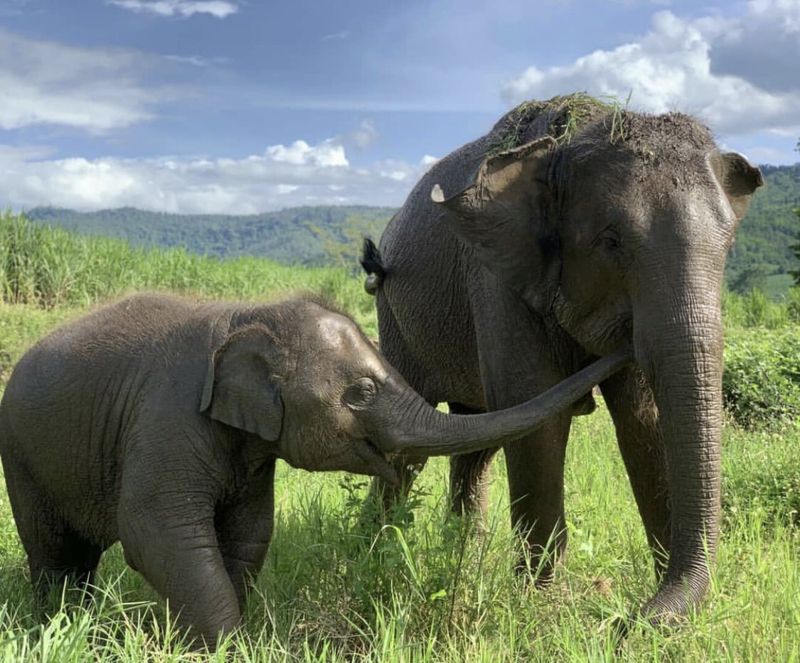 There are no words to describe how wonderful it is seeing Elephants roam free  Visit http://www.amanzitravel.com/chiang-mai-elephant-sanctuary… for more info #amanzitravel #cute #elephant #thailand #chiangmai #animallovers #animals #thaielephants #asianelephantspic.twitter.com/fKnxyn1seO
