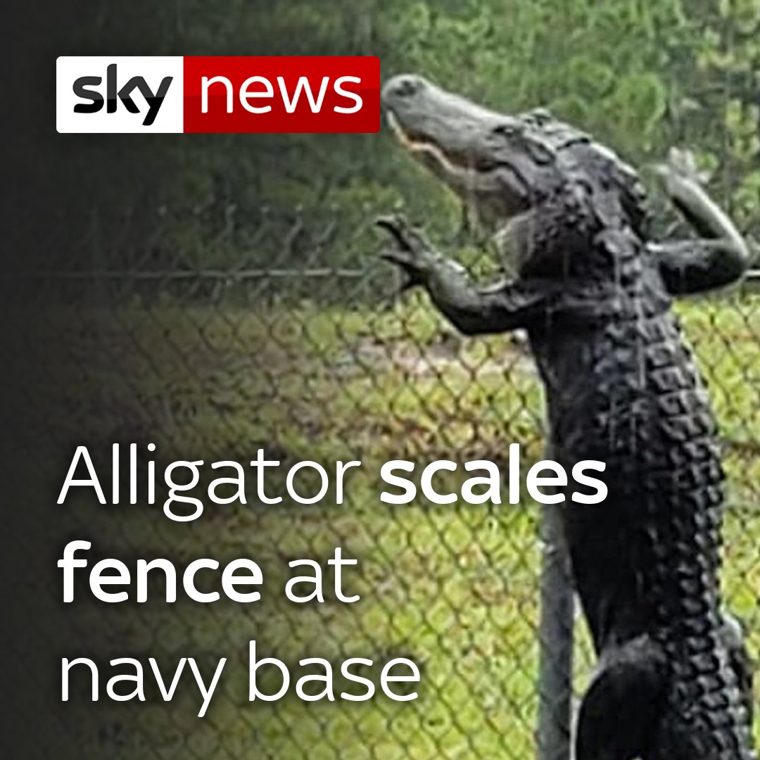 Whaaat? Alligators can climb fences? 🐊😳