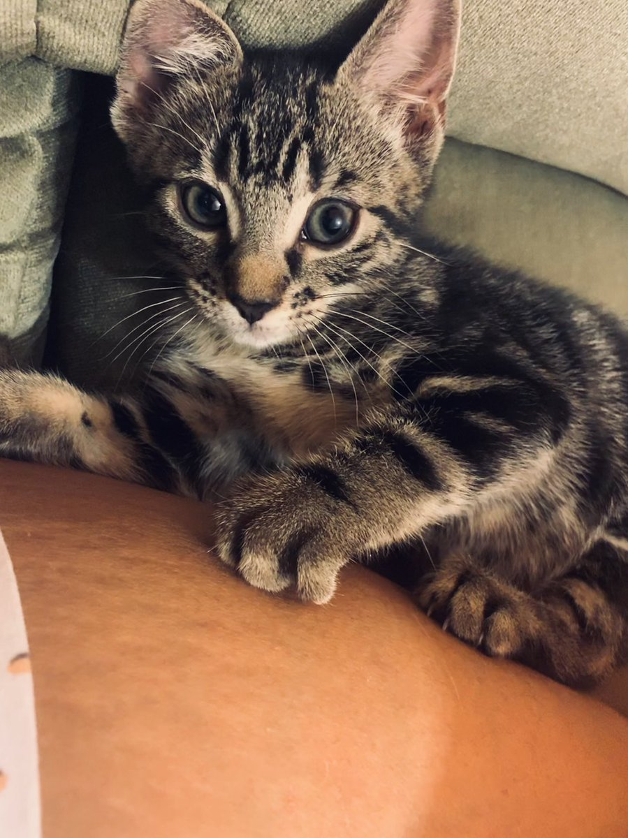 Kitty pics seeing as it's been a week or so... #kittenspam #newkitten #CharlotteCaleesi #ilovemycat #CCtheKitten #lottiethekitten<br>http://pic.twitter.com/V5BPoUPyJD
