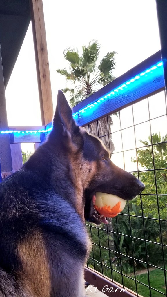 Bored #moosedog He keeps bringing me toys, we play catch with him laying down. He goes and looks longingly out at his yard #K9Garm #SARK9 #dogsoftwitter #dog #dogs #germanshepherd #gsd #FaMoose<br>http://pic.twitter.com/FpBCO2rvAv