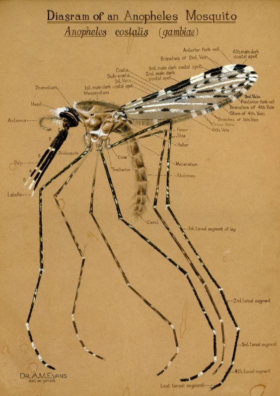 hey, its #WorldMosquitoDay. Here's a beautiful #handdrawn #illustration of an #Anopheles  by Alwen Evans, who was an entomologist and the 1st female academic  at #LSTM.  The drawing is from around 1932  >SM #TuesdayMotivation  #TuesdayThoughts <br>http://pic.twitter.com/wssYaKbqD5