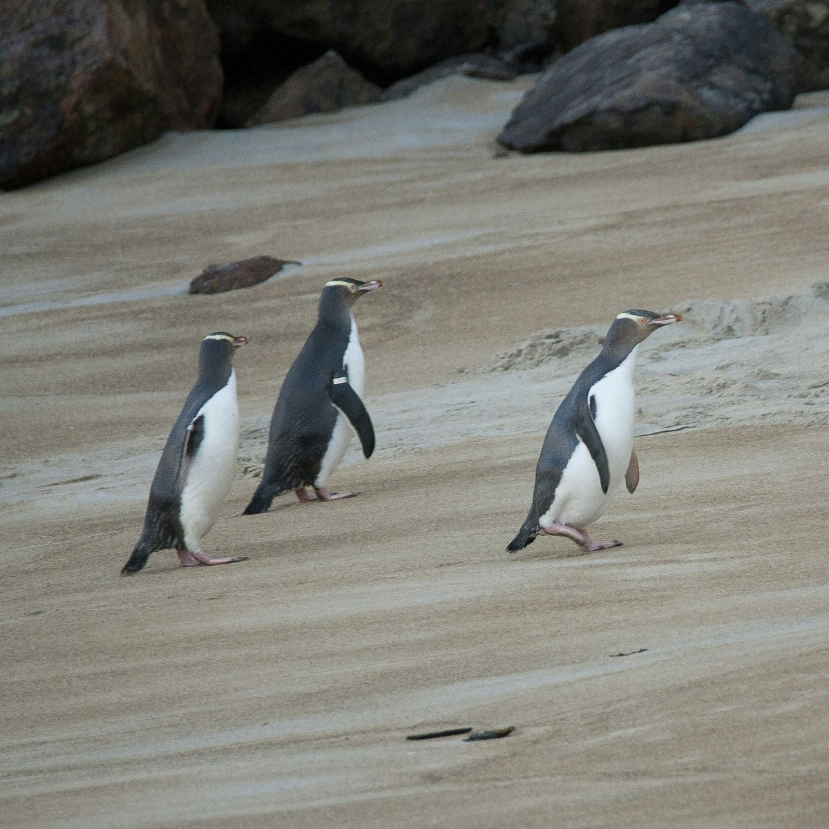 We were very lucky this afternoom and saw 3  Yellow-eyed penguins. Very good for a conference on penguins!!! #Ipc10  https://twitter.com/barbosaandres/status/1166331972387389445/photo/1 <br>http://pic.twitter.com/Z0b7b3KSGk    <br>http://pic.twitter.com/8HIsf5nKRb