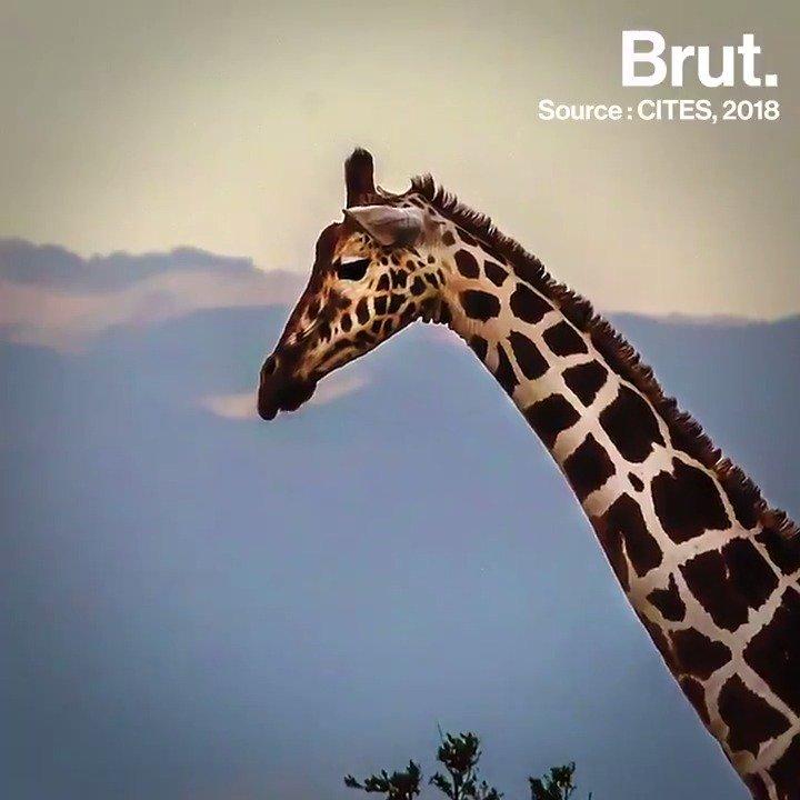 On en parle peu et pourtant, les girafes sont elles aussi menacées dextinction. Les chiffres sont dailleurs inquiétants...