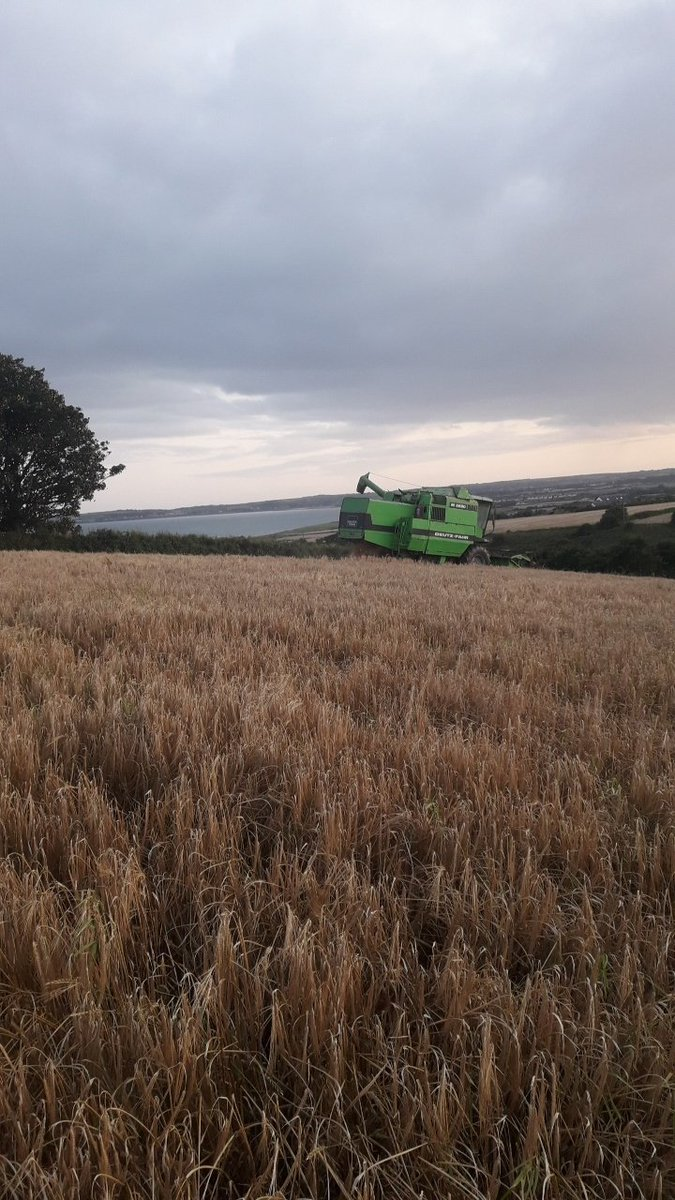 Cutting of Gangway Seed for Goldcrop last night before the rain. Gangway seems to be standing well with a good KPH of 65+ in this difficult weather , which other varieties are struggling to match.  As Spring Barley varieties go its extremely safe. #Goldcrop #Harvest19<br>http://pic.twitter.com/lvaC3BSmZJ