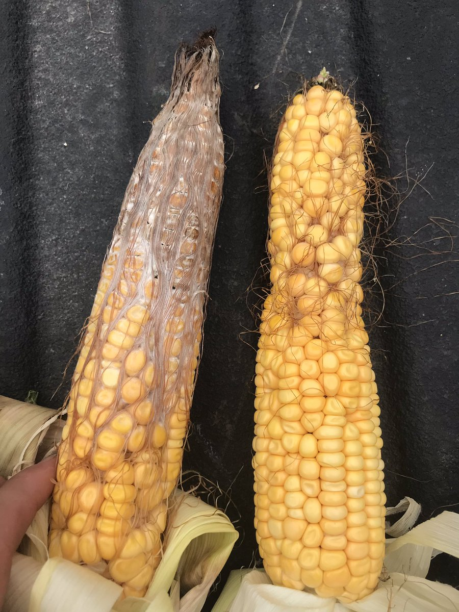 Think your corn looks good from the road, you might need to pull a few ears and check... a lot of corn in central Illinois looks like this... or has ear worm. #crop19 #nobueno #crap #shittypolination #disease Hope #pftour19 finds this <br>http://pic.twitter.com/DtXElptRiy