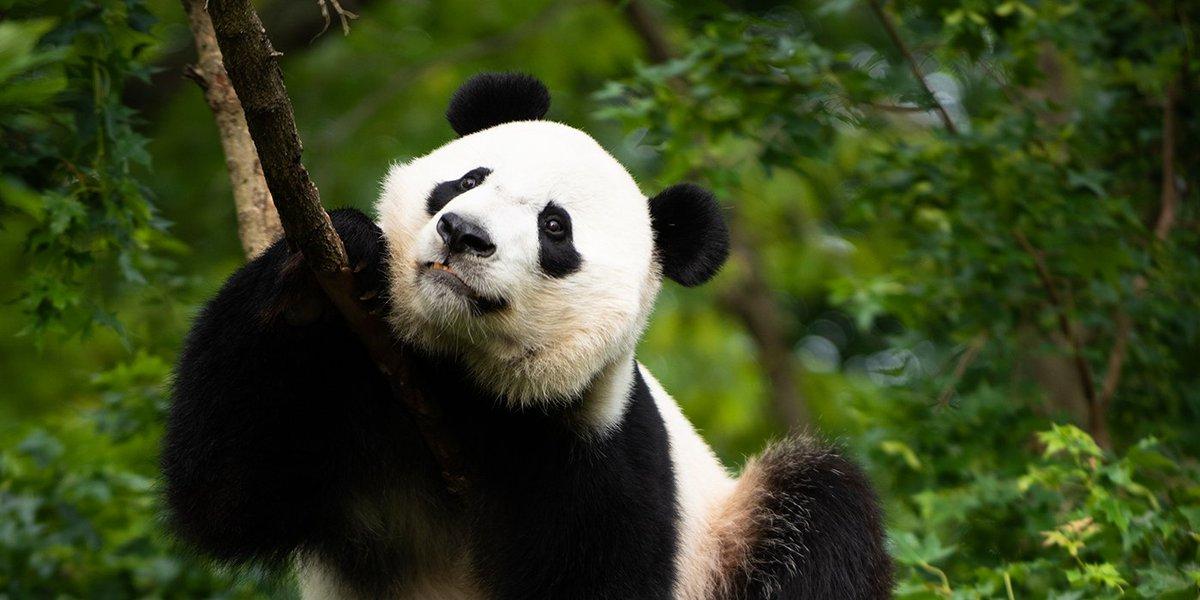 Bei Bei the giant panda celebrates his last National Zoo birthday Thursday