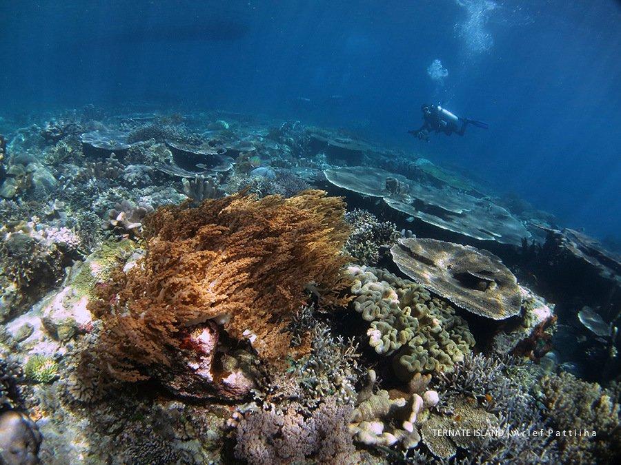 Tanjung Hol  Ternate island North Maluku, Indonesia.  #nature #corals #coralreef #underwater #hol #ternate #northmaluku #indonesia #divingdestinations #divingphoto #divingindonesia #scubadiving #scubadiver #canon #photography #photo #photograph #underwaterphotographypic.twitter.com/yBLZcqo5lf