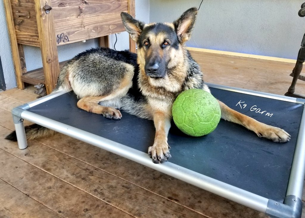 Still trying to find me a toy i like so ill play with him. This is the worst part, he just doesn't understand why hes just having to sit around #K9Garm #SARK9 #dogsoftwitter #dog #dogs #germanshepherd #gsd #moosedog #FaMoose<br>http://pic.twitter.com/XiOfR7pC4K