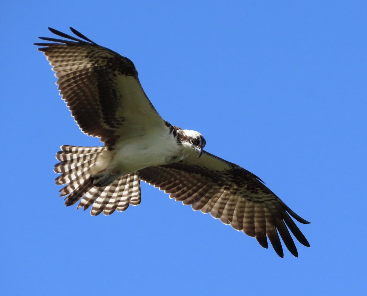 This beautiful #Osprey soaring in the wind! #Birds #wildlifephotography #SpaceCoast #Florida