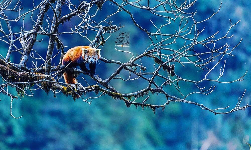 The temperate Himalayan forests of western Nepal are home to a close relative of the beloved giant pandas, the red panda. These tiny herbivores have a distinct reddish-brown fur and a bushy raccoon-like tail.#VisitNepal2020 #redpanda #saveredpanda
