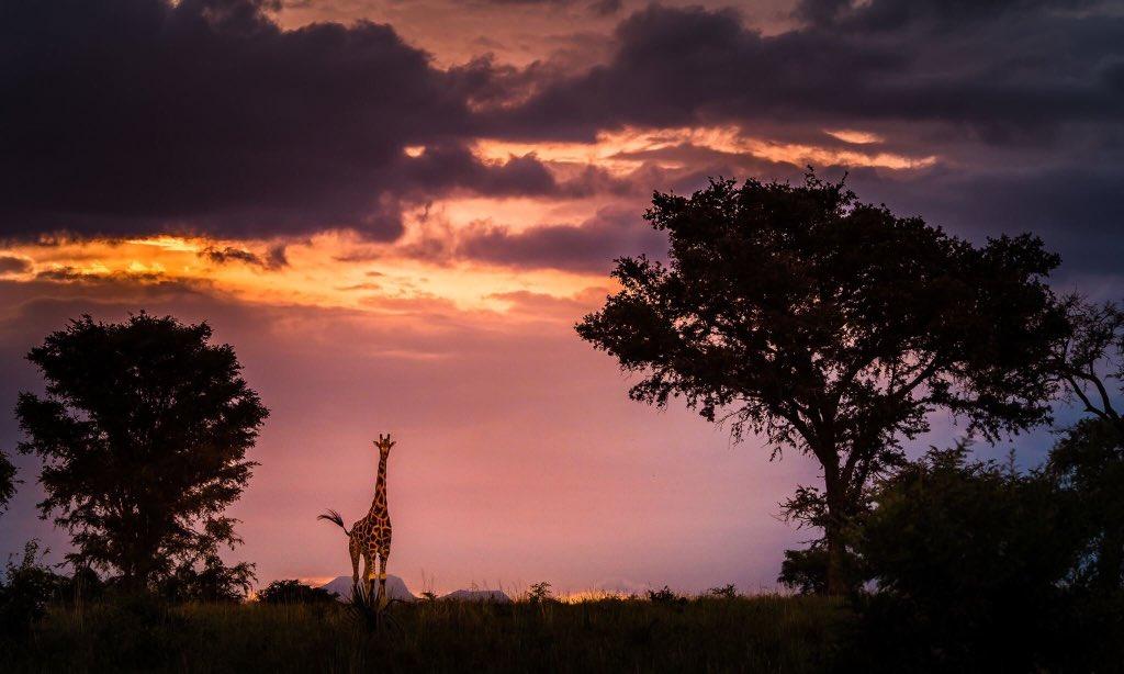 The #ultimatewildsafaris 5 days #safaritour to #Kidepovalleynationalpark 4 #wildlifeviewing & #culturetour Details :https://lnkd.in/emSi8gq#Africa #Kideponationalpark #kidepovalleynationalparksunrise #kidepovalley #Karamajong #Karamajongo #travelstoke #whyisthat #dmxchallenge