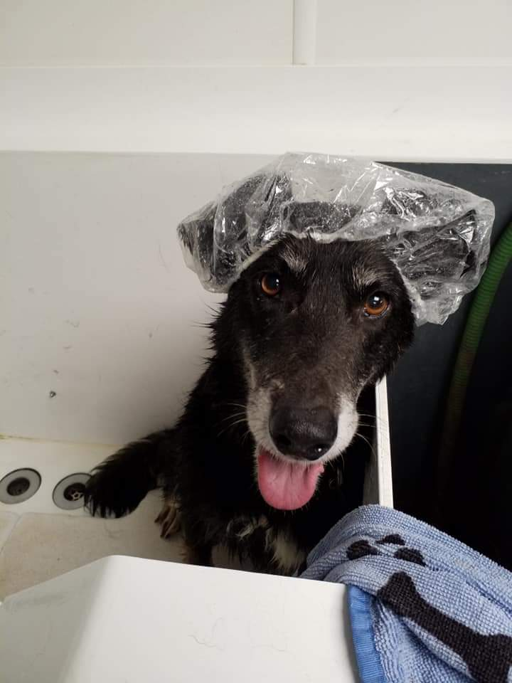 It was pamper day for the new arrivals Sabre and Bailey, these two are looking so much better already with fantastic care of the #Lincolnshire team  #dogs #germanshepherd <br>http://pic.twitter.com/zFvRlLsFWc