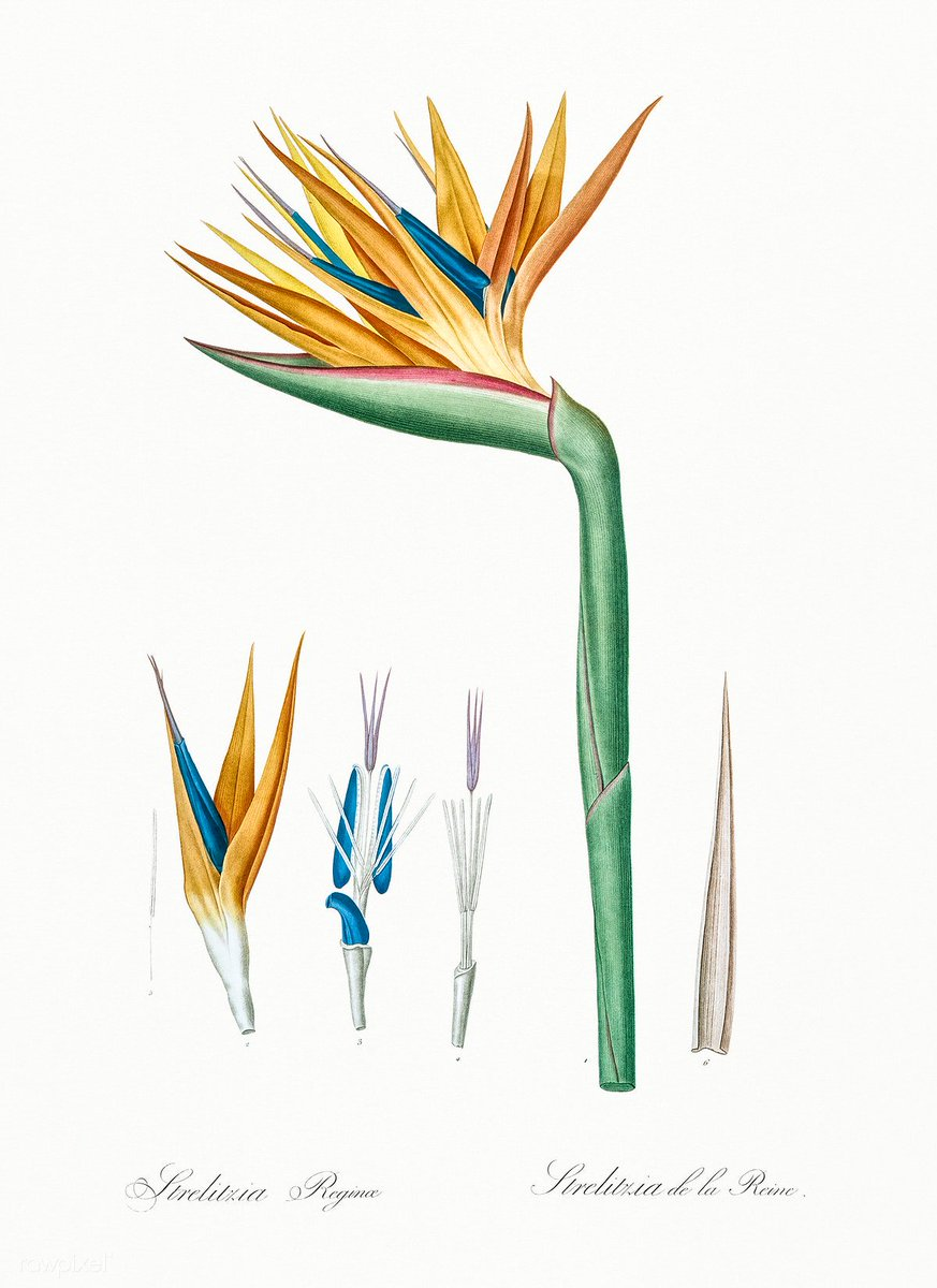 Bird of paradise illustration from Les liliacées (1805) by Pierre-Joseph Redouté. Original from New York Public Library. Digitally enhanced by rawpixel. Download this image: https://t.co/tUvPkgtsyo https://t.co/zrtbrr7Xtw