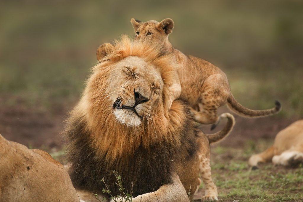картинки львица охраняет льва максимова